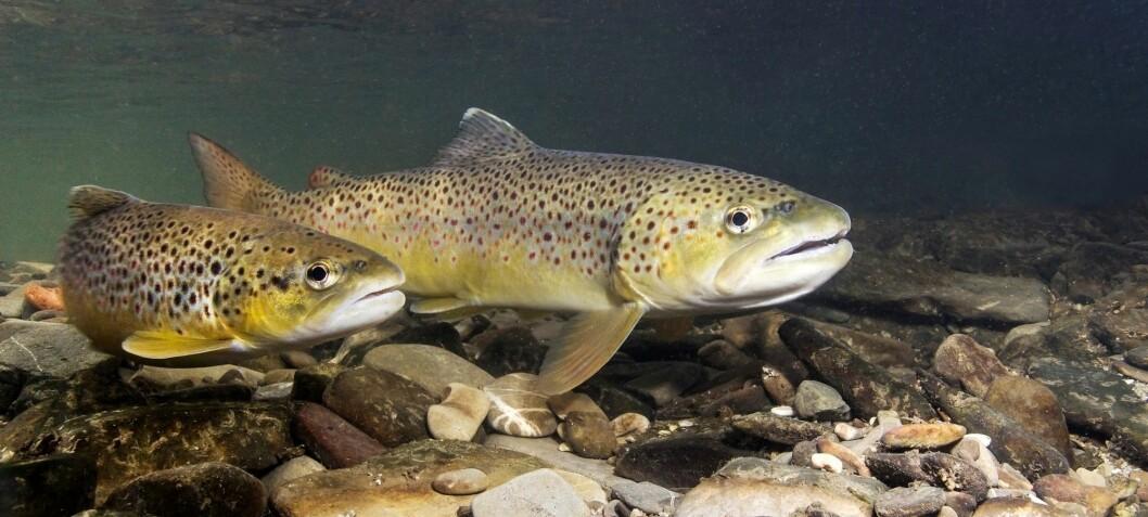 Ferskvannsfisk er i voldsom nedgang over hele verden