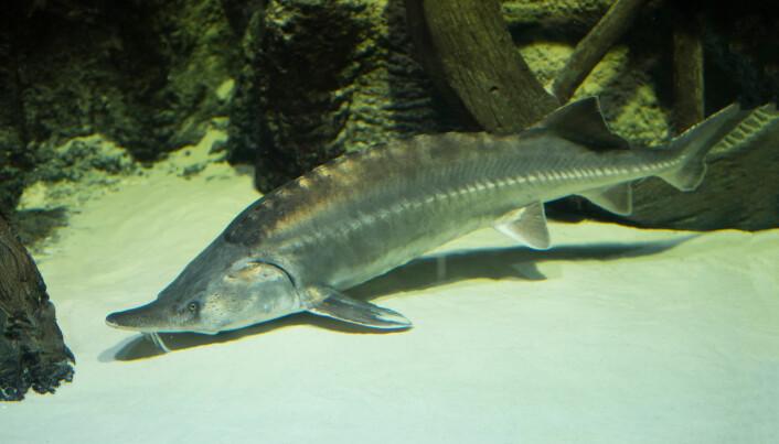 Den europeiske støren kan bli opptil 3,5 meter lang og veier over 300 kilo. Nå er den truet. Her er en stør fotografert i akvarium.