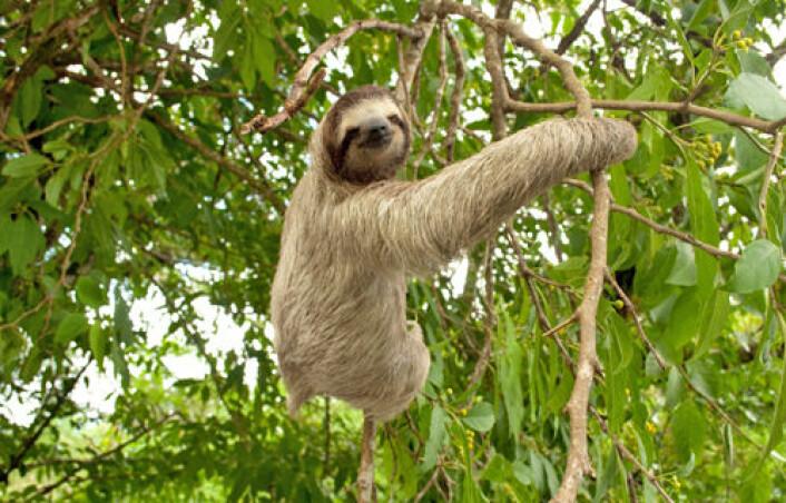 Dovendyr kan ha mistet evnen til holde seg i balanse under raske bevegelser. Heldigvis slipper de å kaste seg rundt i tretoppene. (Foto: iStockphoto)