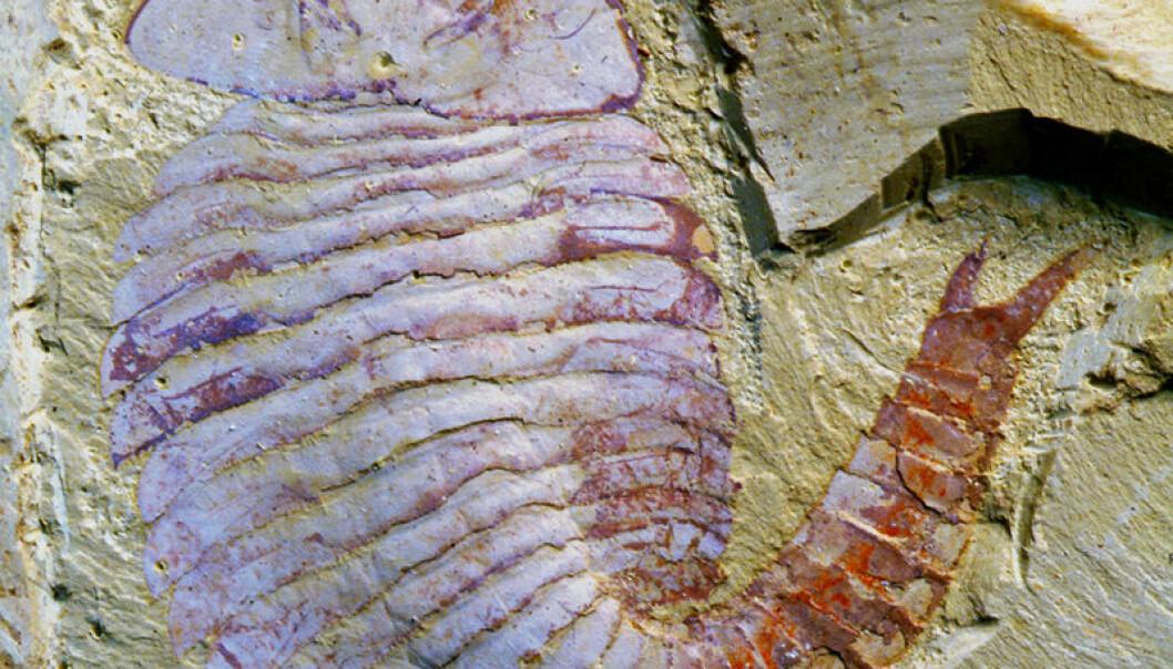 Fossilet av Fuxianhuia finnes ved Yunnan University i Kina. Xiaoya Ma