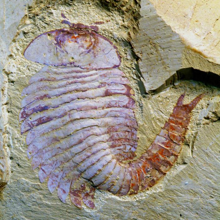 Fossilet av Fuxianhuia finnes ved Yunnan University i Kina. (Foto: Xiaoya Ma)