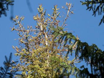 Typisk bilde av gran med tørr topp innimellom grønne friske trær. (Foto: Isabella Børja / Skog og landskap)