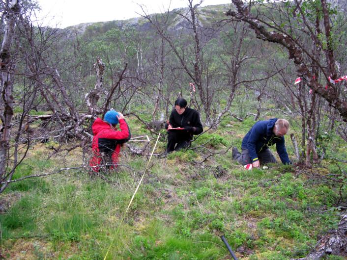 Ole Petter Vindstad (i midten), postdoc Martin Biuw og mastergradsstudent Sabrina Schultze forsker på hva som skjer når lauvmakken har spist skogen svart. (Foto: Framsenteret)
