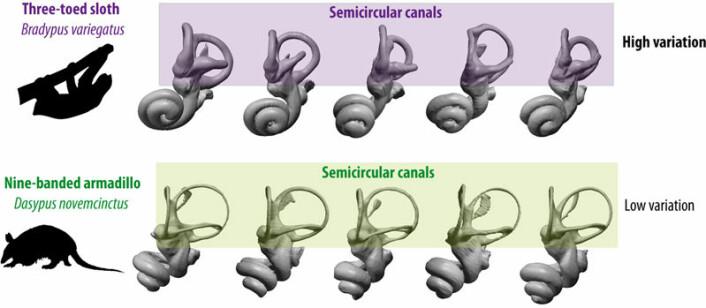 Illustrasjonen viser det indre øret hos en art trefingret dovendyr (øverst) og en art beltedyr (nederst). Det er mye større variasjon i den delen av øret som kalles rundbuene (semicircular canals) blant ulike individer av dovendyr enn hos andre dyr som er undersøkt. Dette tolkes som et resultat av at dette balanseorganet er lite brukt og dermed ikke er under evolusjonsmessig press. (Foto: (Illustrasjon: Guillaume Billet))