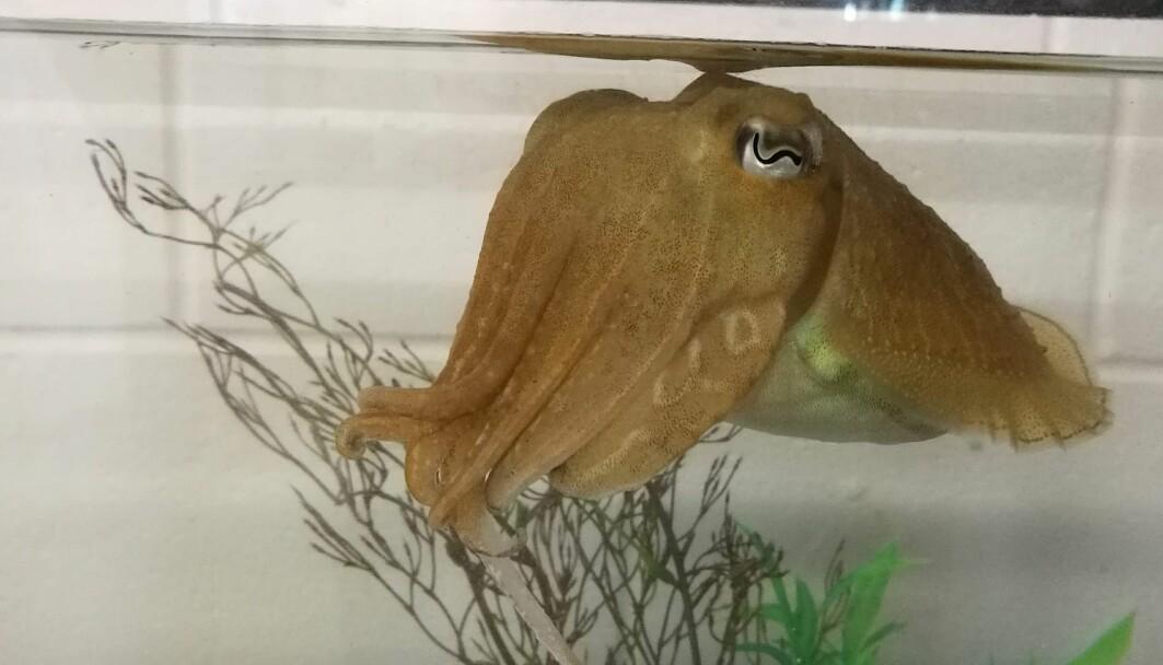 Sepia-blekkspruten klarer en test som bare noen få dyr kan greie.