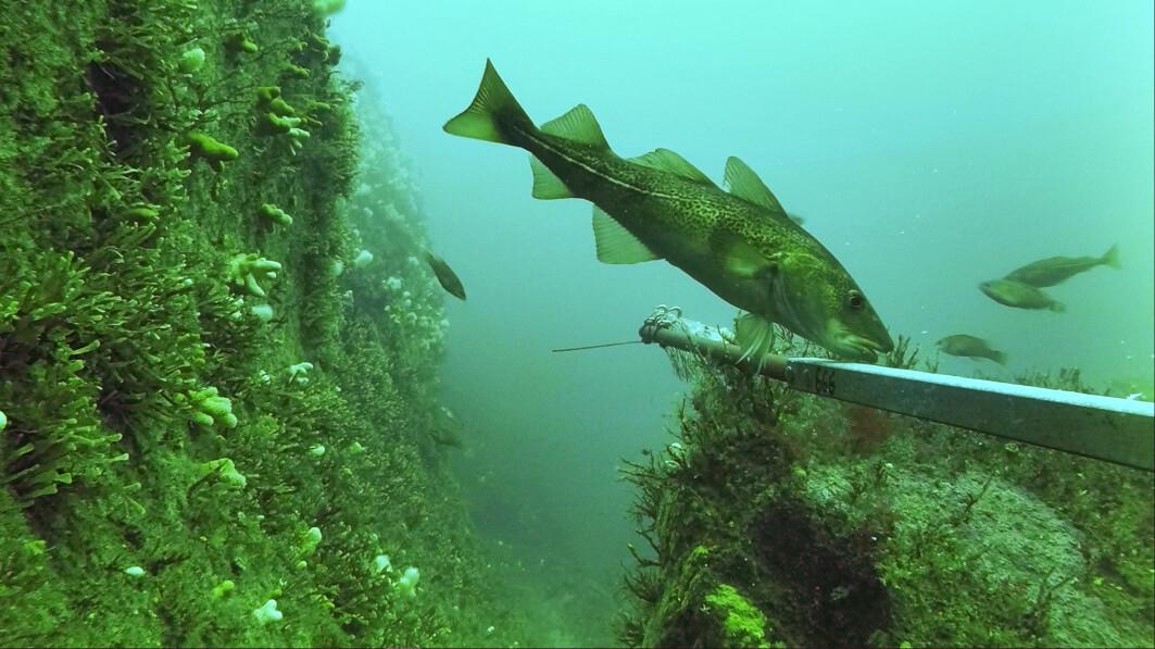 Forskerne fant lite torsk som var eldre enn to år. Her er et unntak, en voksen torsk på 47 centimeter ved Verdens Ende utenfor Tjøme.