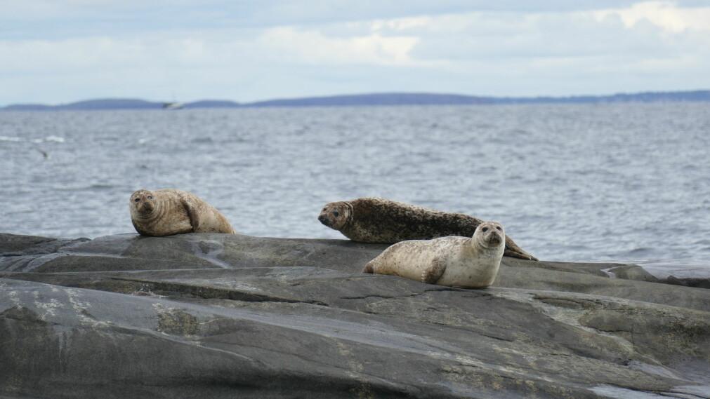 Forskningen viser at steinkobba trolig ikke er den viktigste synderen for torskens forsvinning.