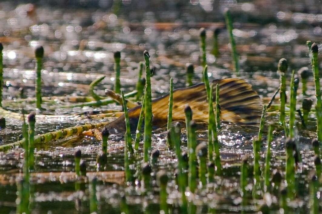 Gjedde er en av artene forskere har foreslått en tiltaksplan for, for å hindre spredning i Telemarkskanalen.