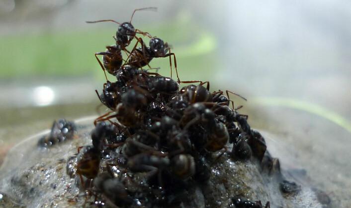 Disse maurene er i ferd med å bygge en flåte. (Foto: Jessica Purcell)