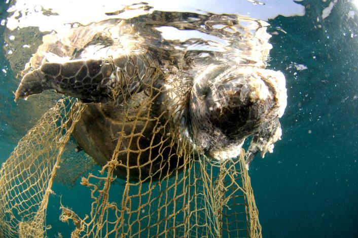 Tapet av skilpadder har de siste årene ført til en eksplosiv stigning i antallet maneter, inkludert arter som er farlige for mennesker. (Foto: Salvatore Barbera, NTB scanpix)