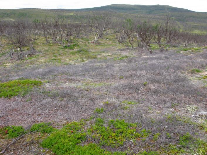 Slik ser skogen ut i området ved Polmak etter gjentatte lauvmakkangrep. (Foto: Framsenteret)