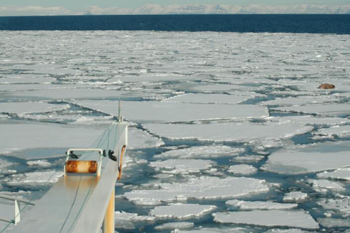 """""""FF Jan Mayen er et isgående fartøy som ofte møter marine dyrearter på sin vei mot Svalbard. Her ser man en antydning til en stor hvalross på ett av isflakene."""""""
