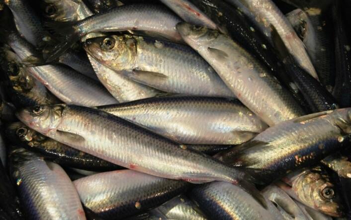 Silda er en ganske pen fisk, stålblå og hvit. Dette bildet avslører kanskje hva resultatet ble i kampen mellom sildestimen og forskningsskipet. (Foto: Hanne Østli Jakobsen)