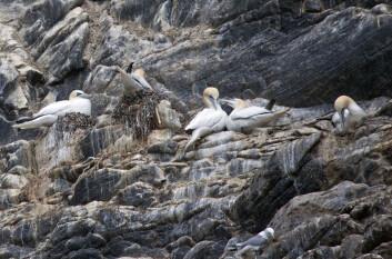 Hekkende havsule på det kjente fuglefjellet Runde i Møre og Romsdal. (Foto: Hans Petter Kristoffersen / Skog og landskap)
