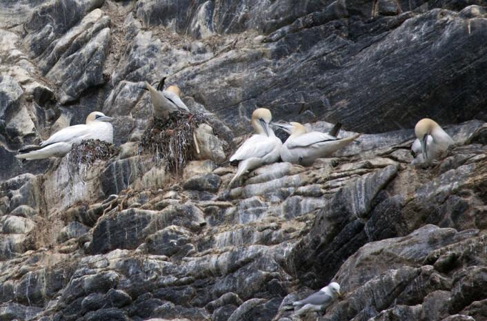 Havsule som hekker ved det kjente fuglefjellet Runde i Møre og Romsdal. (Foto: Hans Petter Kristoffersen / Skog og landskap)