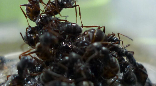 Maur bruker ungene som flåte