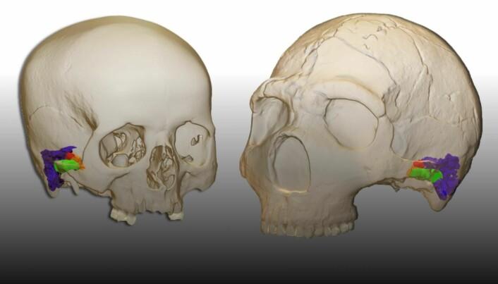 Her er en virituell konstruksjon av øret til et menneske (til venstre) og til en neandertaler (til høyre)
