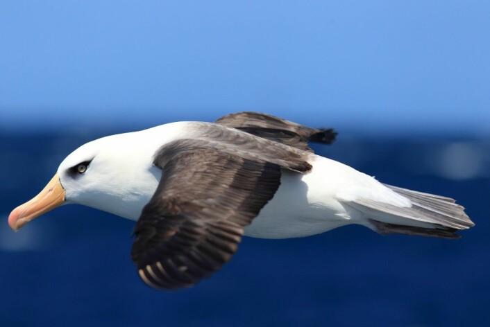 19 av 21 albatrossarter i dag er truet av utryddelse. (Foto: Feathercollector, NTB scanpix)