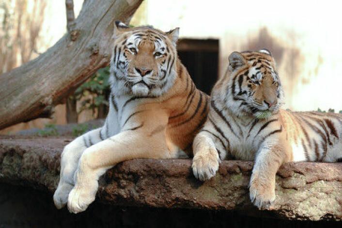 De tre tigrene i Københavns Zoo er av underarten sibirtiger (Panthera Tigris altaica). De er en del av en svært truet art: Man mener at høyst 400 individer lever i naturen. (Foto: Colourbox)