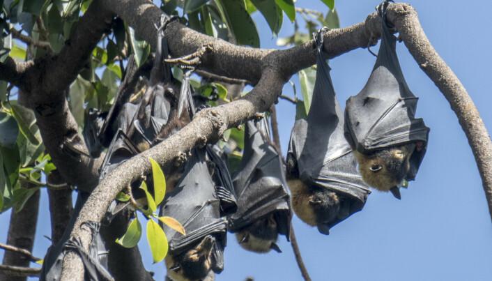 Alle norske flaggermusarter blir torpoide, forteller Claire Stawski. Dette bildet er riktignok av australske storflaggermus, også kalt flygehunder.