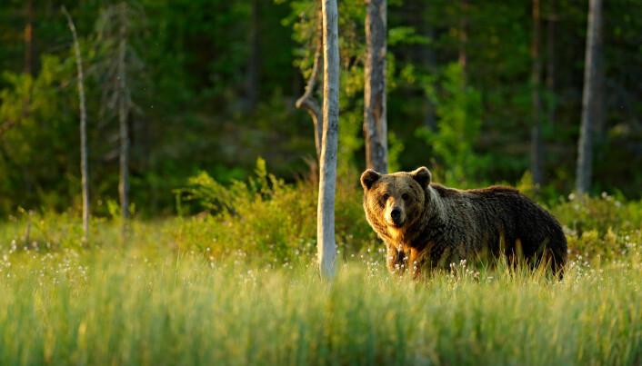 Om bjørnen per definisjon går i dvale er litt omdiskutert. Men en ting er sikkert; den sparer på kaloriene om vinteren.