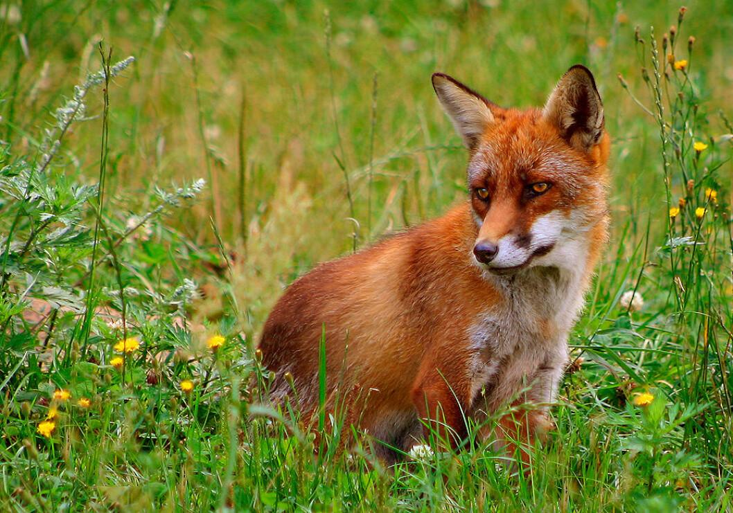 Den røde reven er ett av de mest utbredte landpattedyrene i verden. Den finnes i store deler av Europa, Asia og Nord-Amerika. I Australia betraktes rever som skadedyr. (Foto: Malene Thyssen / Wikipedia)
