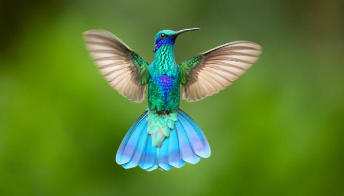 Kolibrien kan finne på å bli torpid. Det gjør den underveis i lange reiser, for å spare energi.