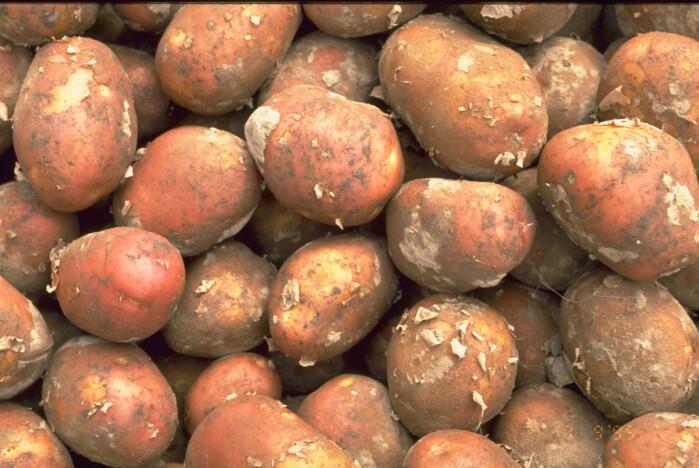 Poteter angripes ofte av tørråte, og nå tester forskerne CRISPR-metoden for å gjøre dem mer motstandsdyktige.