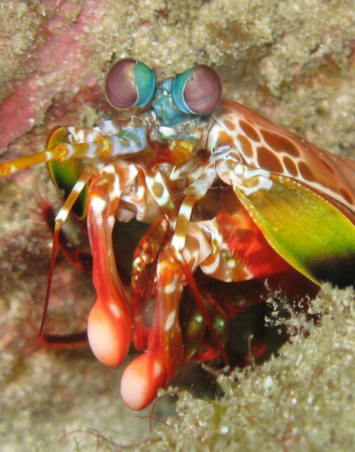 Nærbilde av Taremarbys svar på Mike Tyson. Odontodactylus scyllarus hører til stomapodene (knelerreker) og slår hardere enn noen andre. Redskapene er de røde og lyserøde klubbelignende armene som sees på bildet. Den har også velutviklet syn. Øynene står på stilker og kan se et bredt fargespekter. (Foto: S. Baron)