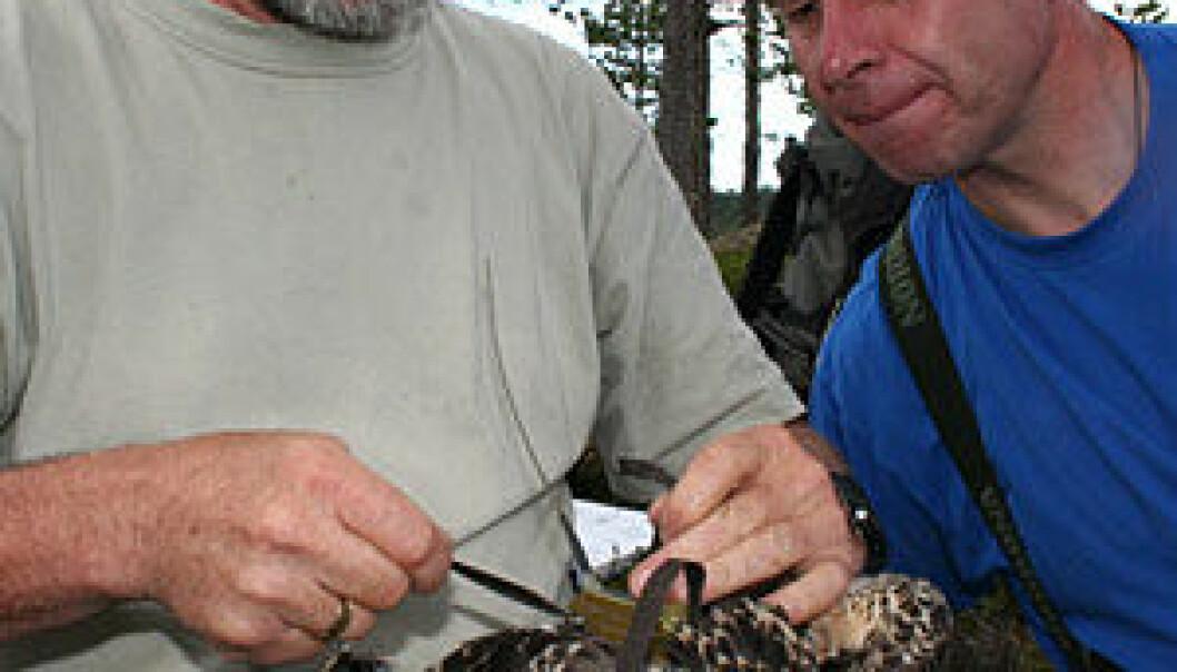 """Seniorforsker Torgeir Nygård (t.v) fra NINA knyter satellittsender på fiskeørnungen sammen med Rolf Terje Kroglund."""