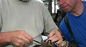 Avslører fiskeørnens trekkhemmeligheter
