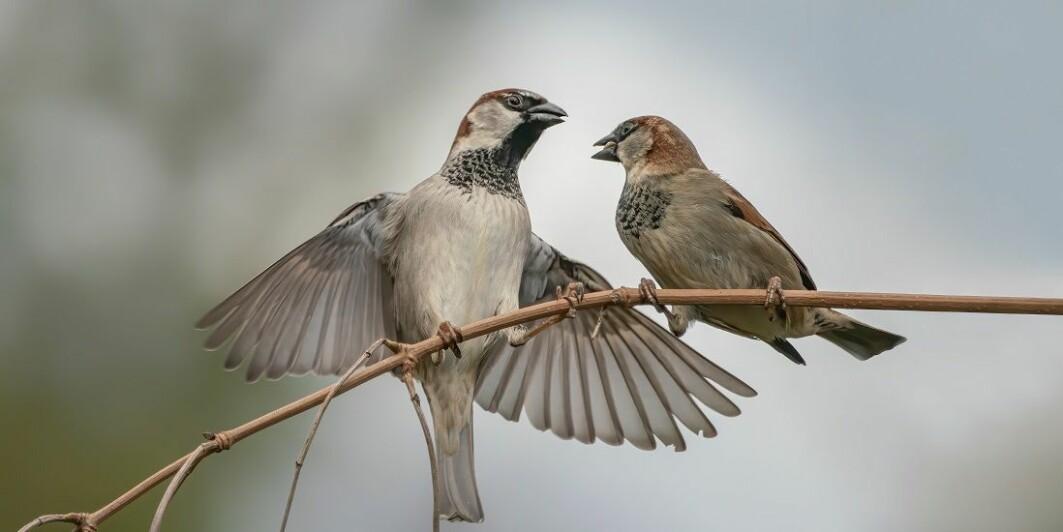 Folkeforskning gir profesjonelle forskere et enormt materiale. Den store hagetellingen av fugler er et godt eksempel.