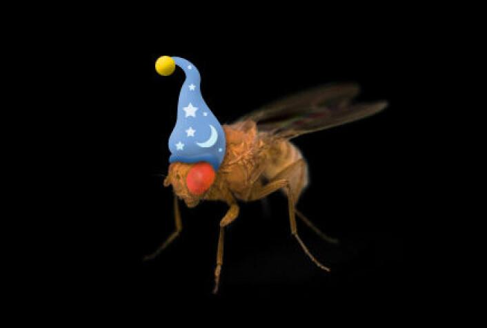 Også fruktfluer trenger en god natts søvn. (Illustrasjon/foto: Per Byhring / Colourbox)