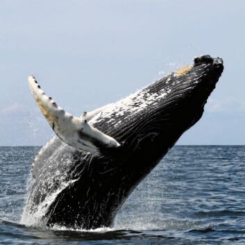 Knølhval, fotografert på nordøstkysten av USA. (Foto: Whit Welles, GNU Free Documentation License, se lisens.)