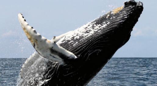 Bakgrunn: Fornuft og følelser i hvalkrigen
