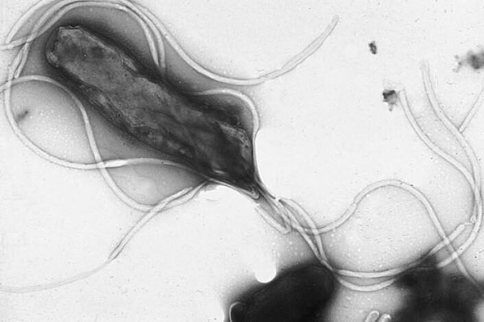 Bakterier finnes i mange forskjellige former. Noen er runde, mens andre er avlange. Noen bakterier former lange tråder av flere bakterier som settes sammen, mens noen bakterier bretter seg som en spiral. Mange bakterier har ikke mulighet for å bevege seg, mens det er noen som har en liten hale som gjør dem i stand til å svømme gjennom en væske (se foto). En så liten hale heter en flagell, og den lille motoren er gjenstand for store diskusjoner omkring livets opprinnelse, mellom tilhengere av intelligent design og darwinister. (Foto: Yutaka Tsutsumi/Wikimedia Commons)