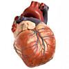hjerteinfarkt arvelig