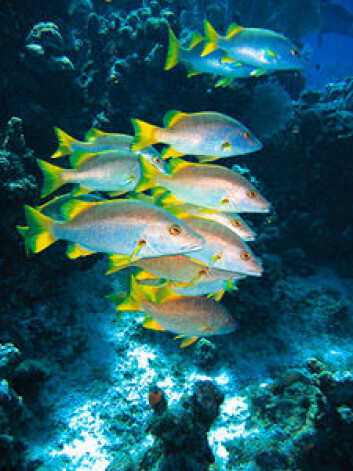 """""""En stim med Lutjanus apodus, fotografert nær Cayman-øyene. Forfedrene til disse fiskene levde en gang i ferskvann, i følge UiB-forskere. (Illustrasjonsfoto: iStockphoto.com)"""""""