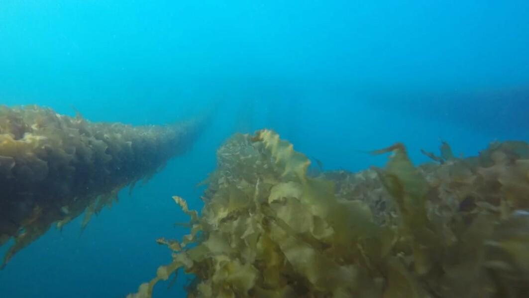 Forskere har sett på mulige positive og negative effekter av taredyrking på økosystemer i havet.