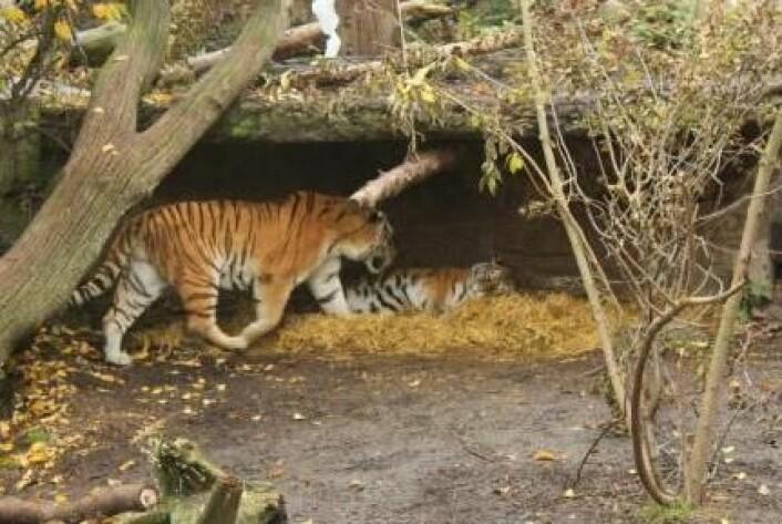 Det er ikke alltid lett å finne en tiger man liker. Men det håper Christina Lehmkuhl Noer å gjøre noe med. Tanken er at hunntigeren blir presentert for duftprøver fra flere hanntigere. Ut fra hunnens respons kan man forhåpentligvis se hvilken hun foretrekker. (Foto: Jeppe Wojcik)