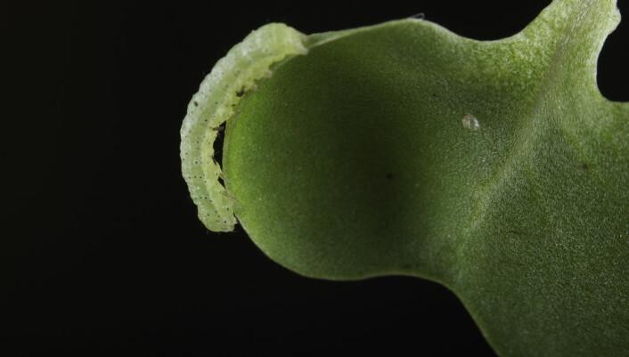 Kålorm elsker kålplanten raps. (Foto: Per Harald Olsen / NTNU)