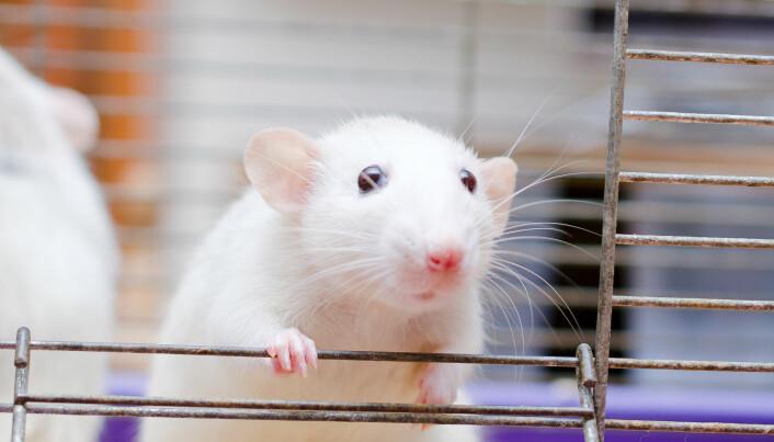 Sopp som lever i tarmen kan endre seg når vi spiser annen mat, viser forskning på mus