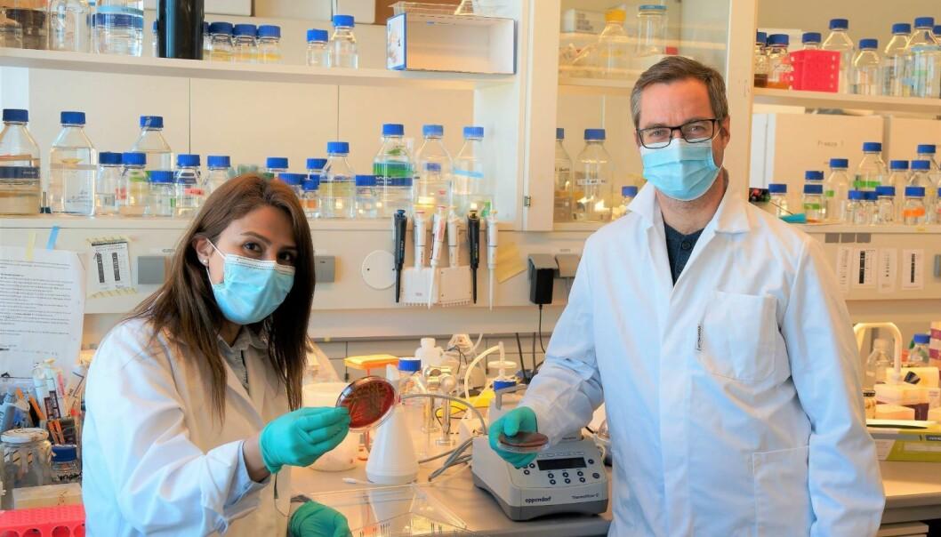Forskerne Fatemeh Askarian og Gustav Vaaje-Kolstad har sett på en bakterie som rammer pasienter med cystisk fibrose. Nylig har bakterien også blitt assosiert med lungeinfeksjoner hos covid-19-pasienter.