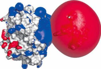 """""""TORSK: Figuren viser resultatet av beregninger om hvordan et enzym som finnes i torsk (Cod-UDG), binder seg til torskens DNA."""""""