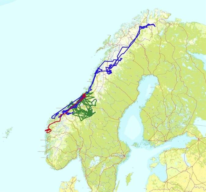 Kartet viser bevegelsene til tre av de ikke-territorielle kongeørnene som ble merket i prosjektet på Fosen i Trøndelag.