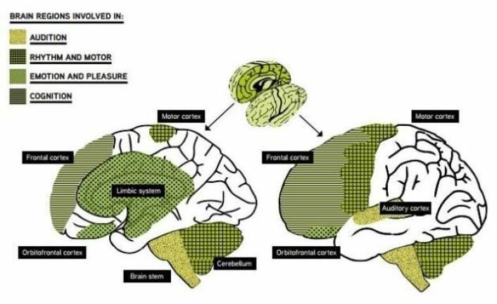 Her ser man hjerneregionene som er involvert når vi hører på musikk. (Foto: (Grafikk: Hvitboken «Music interventions in Health care»))