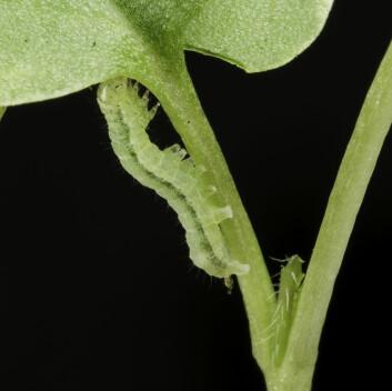 Denne kålormen er sluppet løs i matfatet med Mineless-planter. (Foto: Per Harald Olsen / NTNU)
