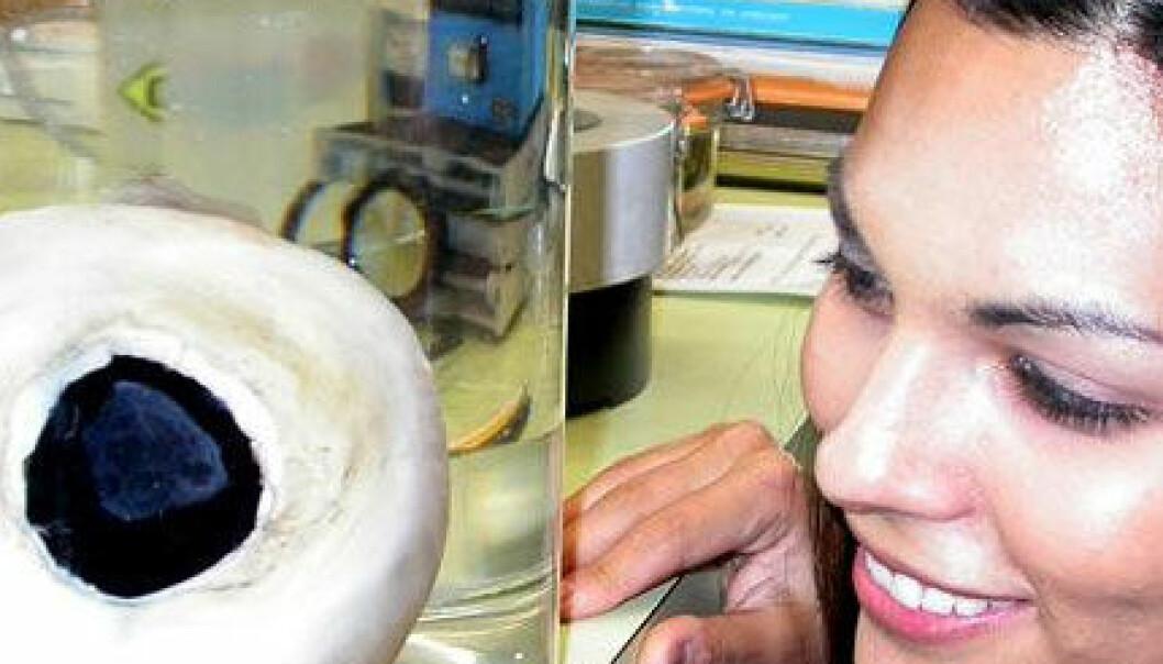 Auga til kjempeblekkspruten er opptil 30 cm i diameter, og er dei største i dyreverda. Her eit preservert blekksprutauge frå Smithsonian Institution. Smithsonian Institution