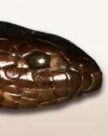 Den nyoppdagede havslangearten Aipysurus mosaicus ligner til forveksling arten Aipysurus eydouxi, men er altså noe helt for seg selv. (Foto: Arne Redsted Rasmussen)