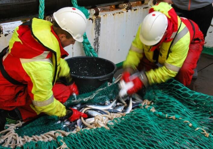 Det kom mer enn nok sild opp med denne trålen. Mannskapet plukker ut nok til at fiskeforskerne kan få gjort sine undersøkelser. (Foto: Hanne Østli Jakobsen)